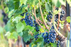 Ripe wine grapes in a vineyard. Some ripe wine grapes in a vineyard Stock Photos