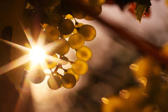 Ripe wine grapes and wine in sunlight star Stock Photos