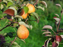 Ripe Yellow And Red Pear On Tree Royalty Free Stock Image