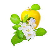 Ripe yellow  apple and apple-tree flowers Royalty Free Stock Images