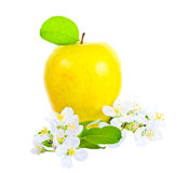 Ripe yellow  apple and apple-tree flowers Stock Photo