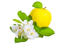 Ripe yellow  apple and apple-tree flowers Royalty Free Stock Photo