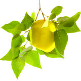 Ripe yellow apple on a branch with green leaves Royalty Free Stock Image
