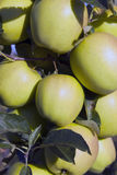 Ripe yellow apples on apple tree in sunshine ready for harvest Royalty Free Stock Photos