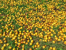 Ripe yellow apples in green grass Royalty Free Stock Photography