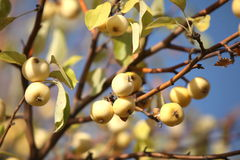 Ripe yellow apples  on the tree Royalty Free Stock Image