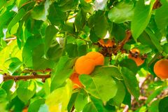 Ripe yellow apricots on a branch with green foliage royalty free stock photos