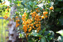 Ripe yellow berries Royalty Free Stock Photography