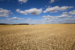 Ripe yellow cereals Royalty Free Stock Images