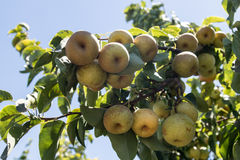 Ripe yellow Chinese Pingo Lee apples hang n a branch among the green leaves. royalty free stock photos
