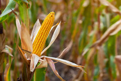 Ripe yellow cob of sweet corn on a large field. Royalty Free Stock Photo