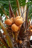 Ripe yellow coconuts in palm tree Royalty Free Stock Images