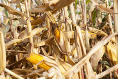 Ripe yellow corn Stock Photo