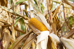 Ripe yellow corn Stock Image