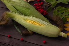Ripe yellow corn on the cob on a wooden dark background next to royalty free stock images