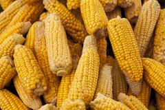 Ripe yellow corn cobs close-up at the farmers market of Iowa United States. Stock Image