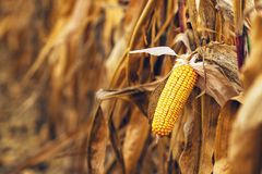 Ripe yellow ear of corn on the cob Royalty Free Stock Photo