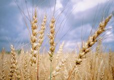 Ripe yellow ears of rye in the field stock images