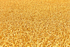 Ripe yellow ears of wheat Royalty Free Stock Image
