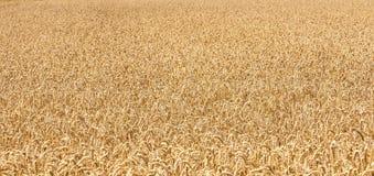Ripe yellow ears of wheat Stock Image