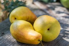 Ripe yellow fresh pears lie in the garden on a wooden bench. Royalty Free Stock Photos