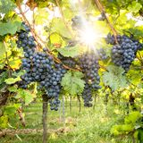 Ripe yellow grapes hang in the backlight of the sun on the bush royalty free stock images