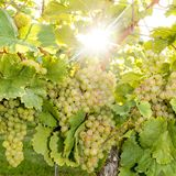 Ripe yellow grapes hang in the backlight of the sun on the bush royalty free stock photos