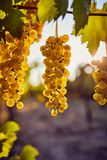 Ripe yellow grapes on a vineyard with sunlight. In the background stock image