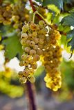 Ripe yellow grapes on a vineyard. In a sunny day stock photo
