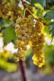 Ripe yellow grapes on a vineyard stock photo