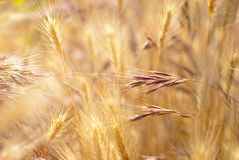Ripe yellow grass in a field. Stock Photography