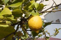 Ripe lemon on a tree branch stock photography