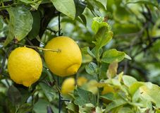 Free Ripe Yellow Lemon, Tropical Citrus Fruit Hanging On Tree With Water Drops In Rain Stock Image - 145806161