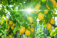 Ripe yellow lemons on lemon tree, bright sun shines. Through green leaves in lemon garden in Sorrento, Italy stock photos