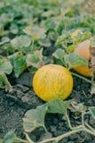 Ripe yellow melon Royalty Free Stock Photo