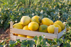 Ripe yellow melon in wood box on the field at organic eco farm. Melon field with fresh harvest in wooden box Stock Images