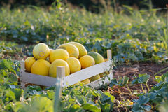 Ripe yellow melon in wood box on the field at organic eco farm. Melon field with fresh harvest in wooden box Royalty Free Stock Images