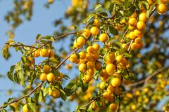 Ripe yellow mirabelle plums on tree branches. Prunus domestica syriaca stock photo