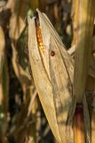 Ripe yellow organic corn ear ready to harvest royalty free stock images