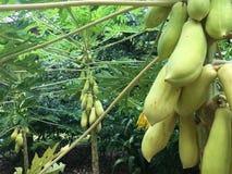 Papaya fruits in a papya tree Royalty Free Stock Images