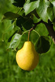 The ripe yellow pear Royalty Free Stock Images