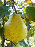 Ripe yellow pear. Photo close up of a ripe yellow pear Stock Images