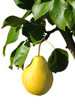Ripe yellow pear on a branch Royalty Free Stock Photography