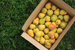 Ripe yellow pears in a cardboard box on a green grass background Stock Photography