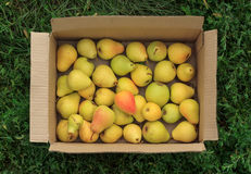 Ripe yellow pears in a cardboard box on a green grass background Royalty Free Stock Image