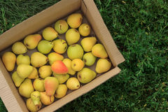 Ripe yellow pears in a cardboard box on a green grass background Stock Photos
