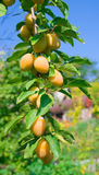 Ripe yellow plum Stock Image