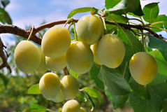Ripe yellow plum on the branch Stock Images