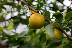 Ripe yellow plum Royalty Free Stock Images