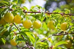 Ripe yellow plum tree branches Stock Photos